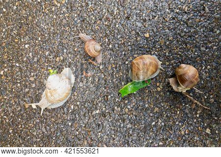 Top View Of Four Helix Pomatia Snails Crawling On A Street In Switzerland