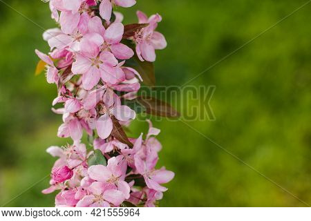 Branch Of A Blossoming Apple Tree With Copy Space, Text Place . Beautiful Pink Flowers Of Blooming D