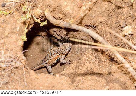 Common Side Blotched Lizard In Baja California