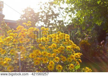 Defocus Doronicum Flowers. Bright Bush Of Yellow Garden Daisies And Chamomile. Sunset Over Garden Pl
