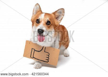 Funny Welsh Corgi Pembroke Dog Shows Tongue Playfully With Cardboard Sign Hanging Around Its Neck Wi