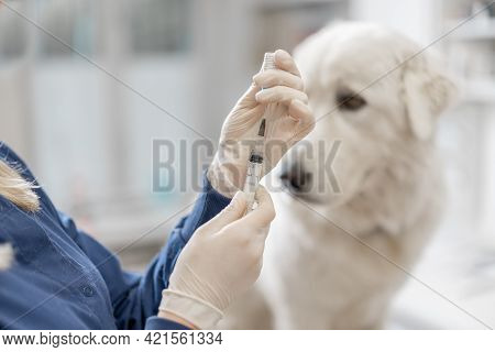 Veterinarian Holding Syringe With Vaccine Near Big White Dog In Clinic. Treatment And Pet Care. Annu