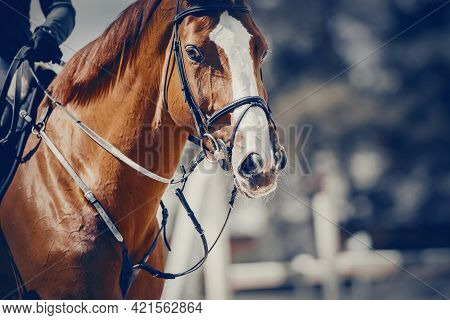 Equestrian Sport. Portrait Sports Red Stallion In The Bridle.  Equestrian Sport, Jumping. Overcome O