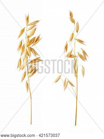 Ears Of Oats Isolated On White Background. Oat Plant For Package Design.