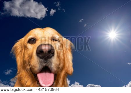Ridiculous Golden Retriever Dog With Mouth Opened One Eye Closed Looking At The Camera.funny Dog Por