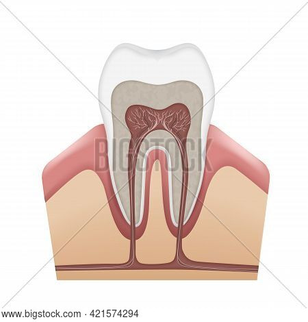 Vector Human Tooth Anatomy Enamel, Dentin, Pulp, Gums, Bone, Cementum, Root Canals, Nerves And Blood
