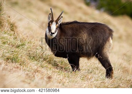 Curious Tatra Chamois Looking While Eating On Dry Meadow In Carpathian Mountains
