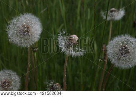 Dandelion White Seeds Closeup On Blurry Grass Background