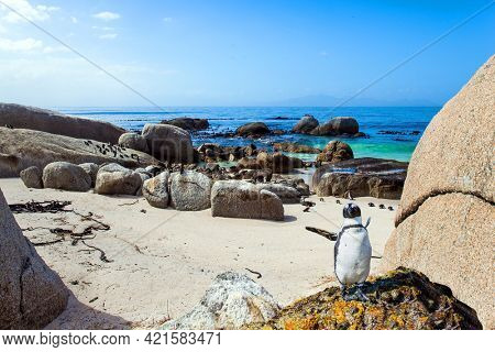 Travel to an Exotic Land. Scenic Penguin Conservation Area near Cape Town. South Africa. Friendly African black-footed penguin stands on a huge rock.