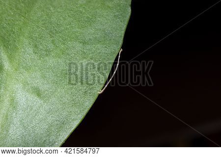 Geometrid Caterpillar Walking On A Green Leaf Stock Photo