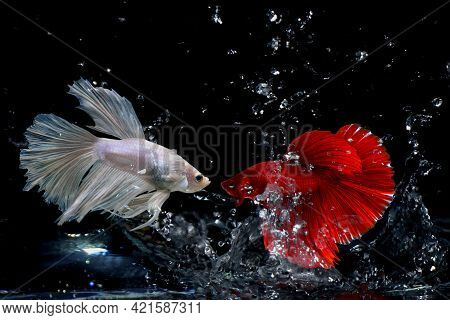 Red Thai Fighting Fish And White Thai Fighting Fish Fighting In The Aquarium  On Black Background