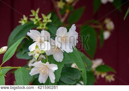 Macro Shot Of Jasmine Flower. Selective Focus. Jasmine Flowers Blossoming On Bush, Summertime Photo