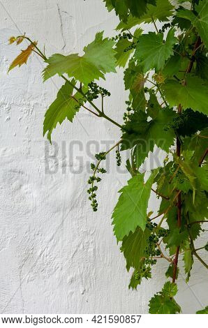Grape Vine On White Background. Concrete And Cement. Background High Detailed Fragment Stone White W