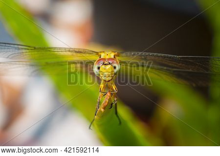 Ground Skimmer Dragonfly Insect In Yellow Color Resting On The Edge Of The Leaf. Used Differential F