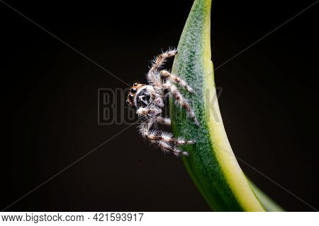Jumping Spider On The Tip Of The Leaf Of Yucca Plant. Used Differential Focus.