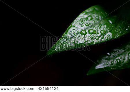 Natural Background Of Green Leaves Of Plant With Raindrops And Dark Background. Used Differential Fo
