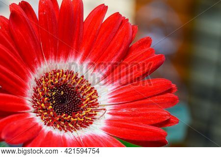 Closeup Of Red And White Colored Gerbera Flower. Used Differential Focus.