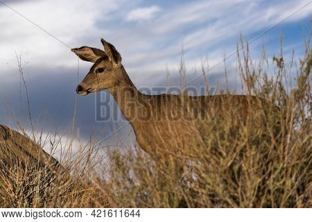 Mule Deer with morning clouds at Rocky Peak Park in the Santa Susana Mountains near Los Angeles and Simi Valley, California.