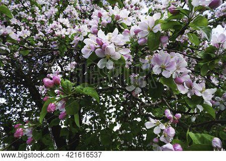 Spring Apple Flowers Background. Spring Blooming Apple Flowers. Spring Apple Flowers In The Spring G