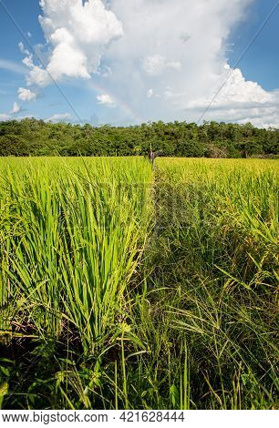 View Of Green Rice Filed. Thailand Traditional Rice Farming. Organic Rice Paddy Field.