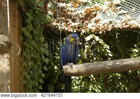Blue Macaw - Anodorhynchus Hyacinthinus On Perch In Captivity Exposed At The Zoo