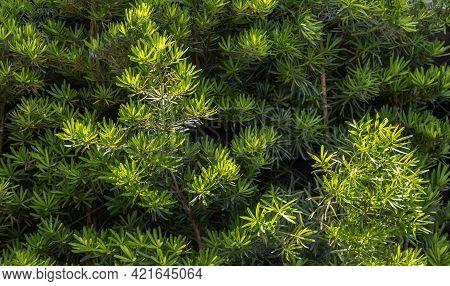 Yew Plum Pine Leaves (podocarpus Macrophyllus). Ornamental Plant With Beautiful Leaves, Green Trees