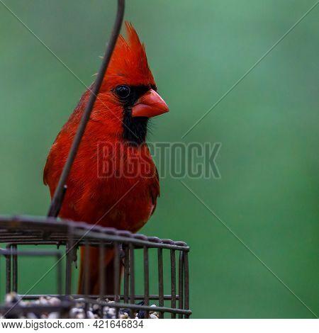 Close Up Of A Northern Cardinal (cardinalis Cardinalis) Perched On A Feeder During Spring. Selective