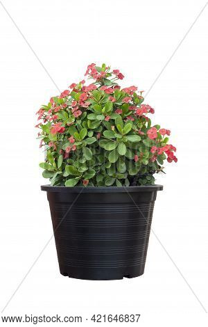 Red Euphorbia Milli Or Crown Of Thorns Flower Bloom In Black Plastic Pot Isolated On White Backgroun