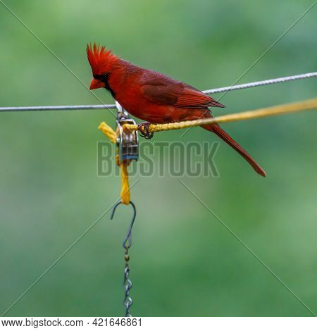 Close Up Of A Northern Cardinal (cardinalis Cardinalis) Perched On A Rope And Pulley For A Feeder Du