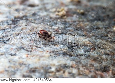 Female Wood Tick. Mite On The Stone. Tick Bite Season.