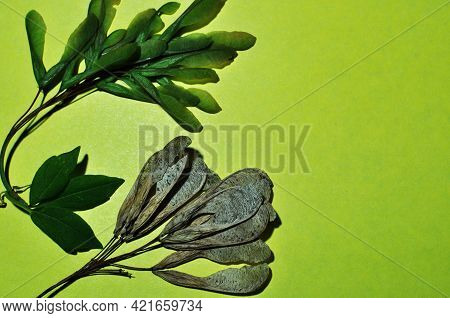 Maple Fruits On A Light Green Background. Green Maple Leaves And Young Fruits. Old Maple Fruit.