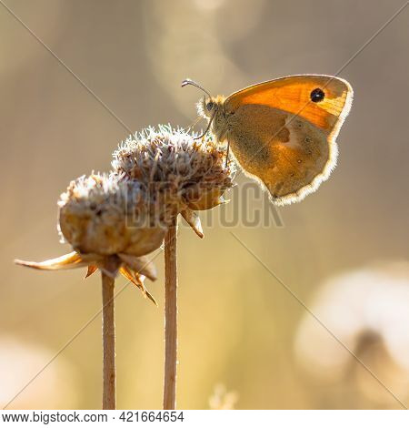 Butterfly Small Heath (coenonympha Pamphilus) Feeding On White Flowers On Green Background. Wildlife