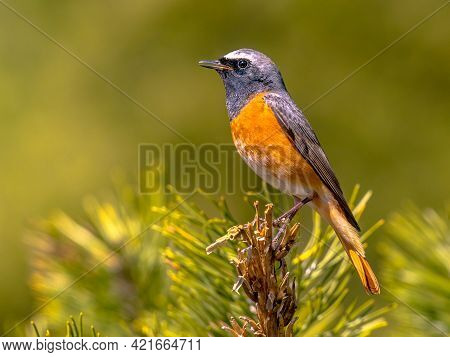 Common Redstart (phoenicurus Phoenicurus). Beautiful Bird Perched On Branch Of Tree In The Forest. W