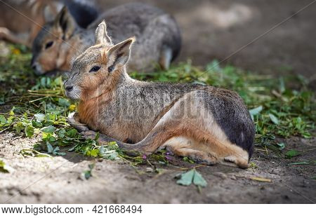 Patagonian Mara Dolichotis Patagonum Resting On Ground In Zoo, Another Animal Blurred Background, So