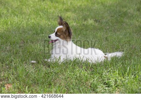Cute Papillon Puppy Is Lying On A Green Grass In The Summer Park. Pet Animals. Purebred Dog.