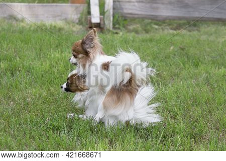 Continental Toy Spaniel And Chihuahua Are Making Love On A Green Grass. Dogs While Mating In The Sum