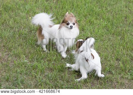 Cute Continental Toy Spaniel Puppy And Chihuahua Puppy Are Playing On A Green Grass In The Summer Pa