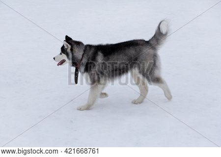 Cute Siberian Husky Puppy Is Walking On A White Snow In The Winter Park. Sled Dog. Pet Animals. Pure