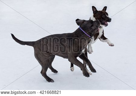 Italian Mastiff Puppy And American Staffordshire Terrier Puppy Are Playing In The Winter Park. Pet A