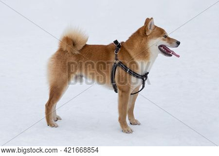 Cute Shiba Inu Puppy Is Standing On A White Snow In The Winter Park. Pet Animals. Purebred Dog.
