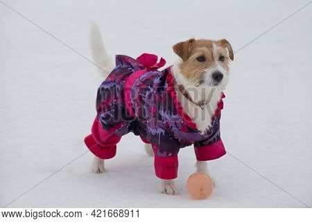 Cute Jack Russell Terrier Puppy In Beautiful Pet Clothing Is Standing On A White Snow In The Winter