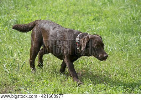 Chocolate Labrador Retriever Is Walking On A Green Grass In The Summer Park. Pet Animals. Purebred D