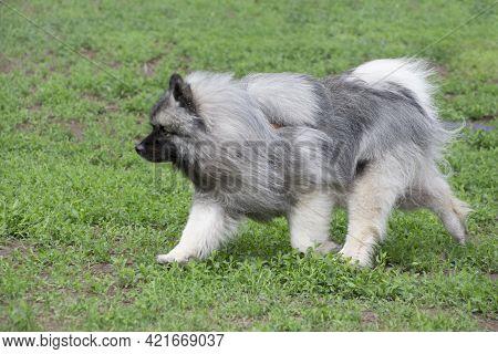 Cute German Spitz Is Running On A Green Grass In The Summer Park. Keeshond Or Deutscher Wolfspitz. P