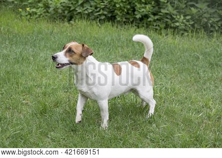 Cute Jack Russell Terrier Puppy Is Standing On A Green Grass In The Summer Park. Pet Animals. Purebr