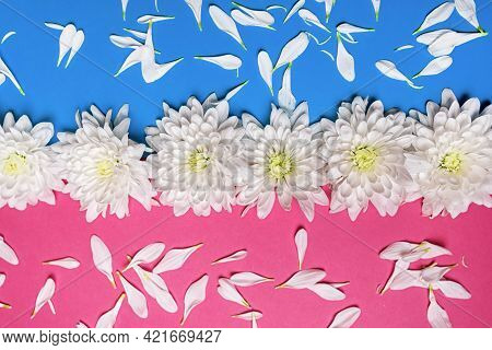 Concept Of Minimal Nature And Romance. White Chrysanthemum Flowers On A Pastel Pink And Blue Backgro
