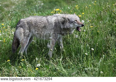 Portrait Of A Wolf In The Nature