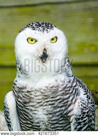 A Frontal Portrait Of A Passive Snowy Owl With Mesmerising Yellow Eyes.