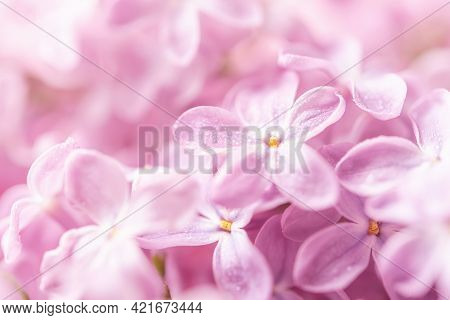 Pastel Pink Wet Lilac Petals With Water Drops Macro. Fragile May Lilac Blossom Close-up For Greeting