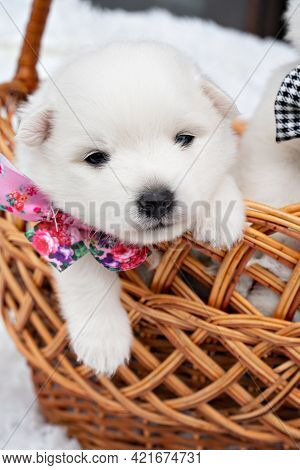 White Puppy In A Basket. Breeding Dogs Breed Japanese Spitz.