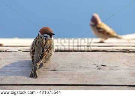 A Eurasian Tree Sparrow - Passer Montanus - Perching On The Old Wooden Deck And Glancing Back. Photo